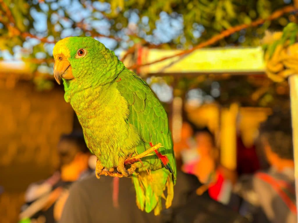 Cute Parrot from the Guajira Peninsula