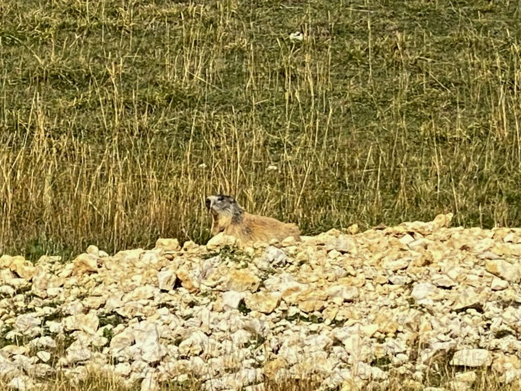 A Marmot casually posing in the Vercors
