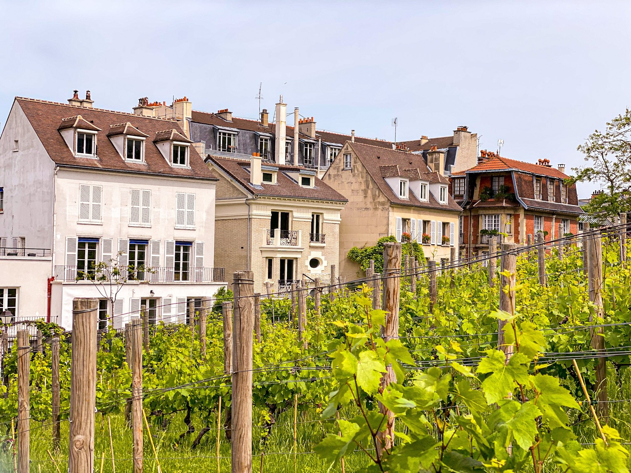 Vineyard on Montmartre Hill