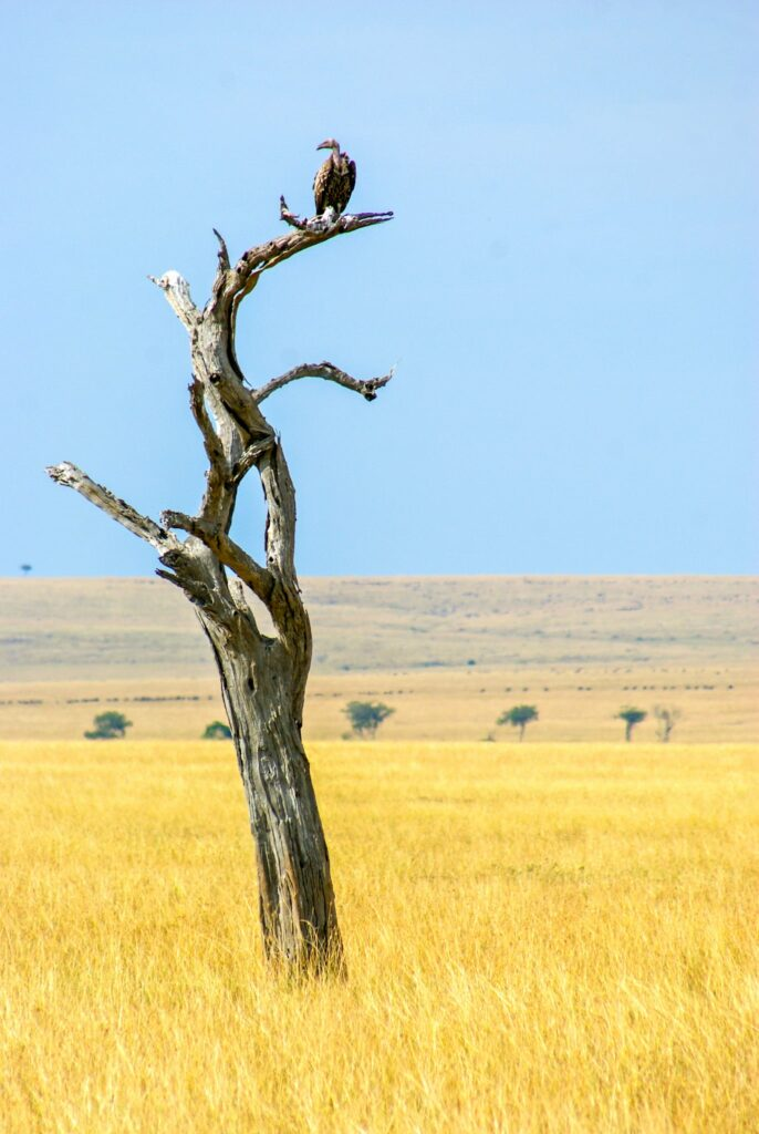 A vulture waiting on a tree