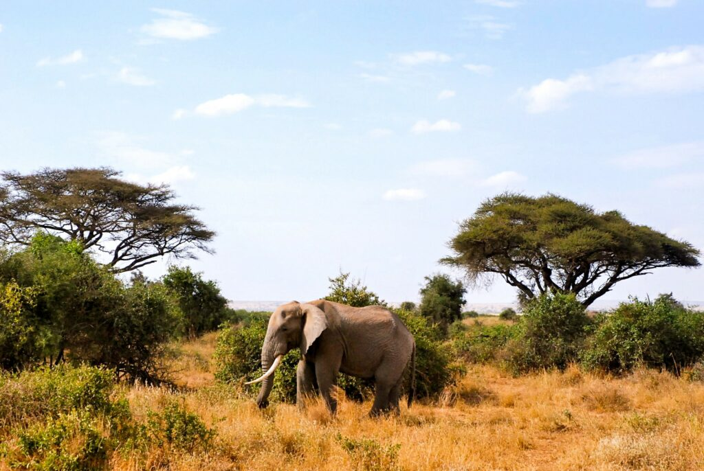 An elephant in the green savannah