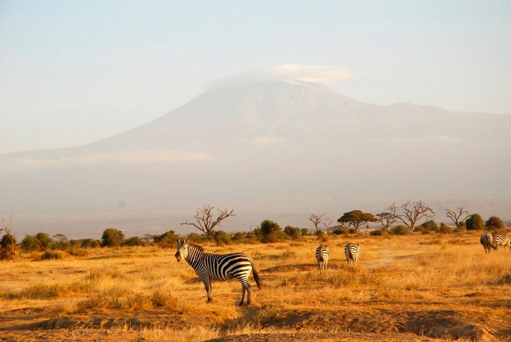 Zebra and the Kilimandjaro