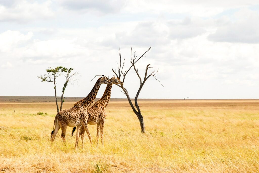 Giraffes eating of a dead tree