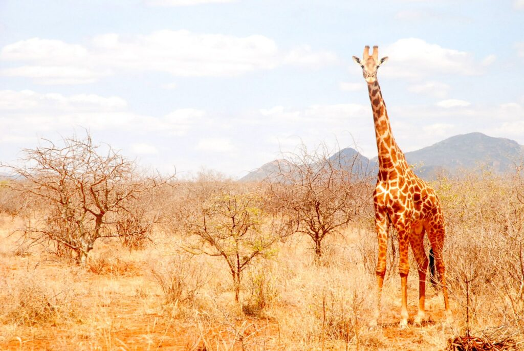 Giraffe in Tsavo West National Park