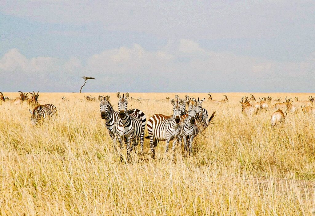 Zebras in the savannah - Kenya