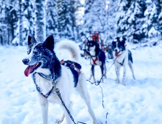 Huskies ready to go dog-sledding!