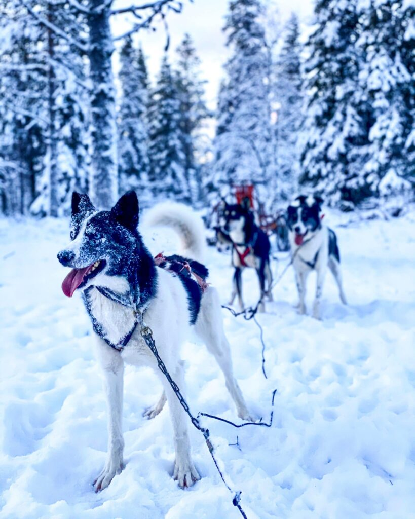 The pack, ready to go for some dog sledding!